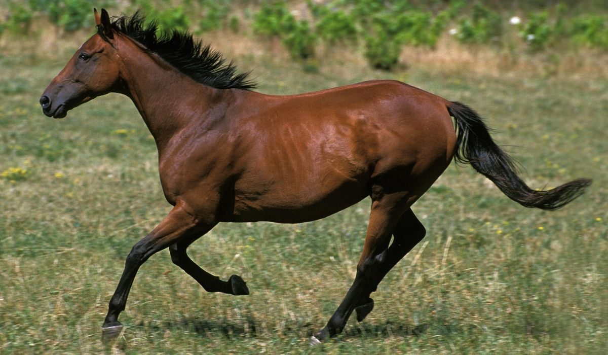 15 Beautiful Italian Horse Breeds With Pictures Helpful Horse Hints
