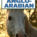 anglo-arabian breed profile