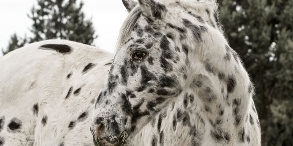 19 Appaloosa Horse Facts You Didn't Know | Helpful Horse Hints