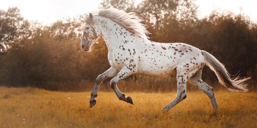 appaloosa horse running in a pasture