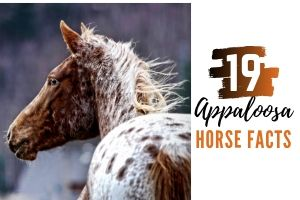 19 Appaloosa Horse Facts You Didn't Know