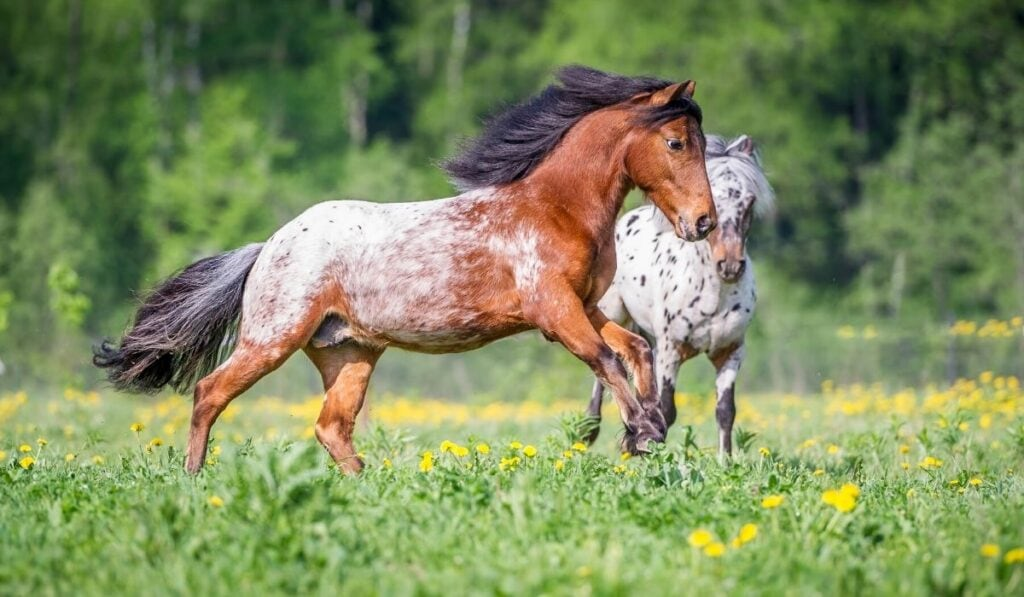 appaloosa ponies playing