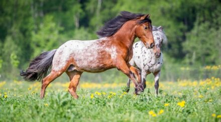 appaloosa ponies playing