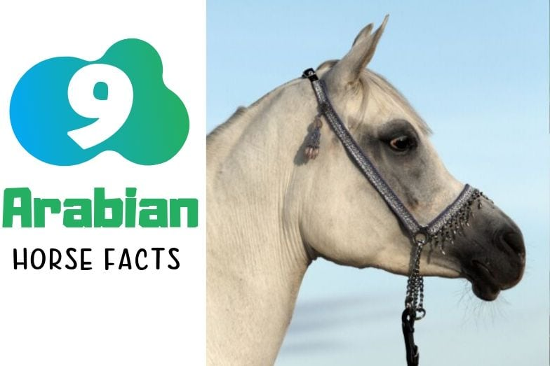 9 Alluring Arabian Horse Facts You May Not Know