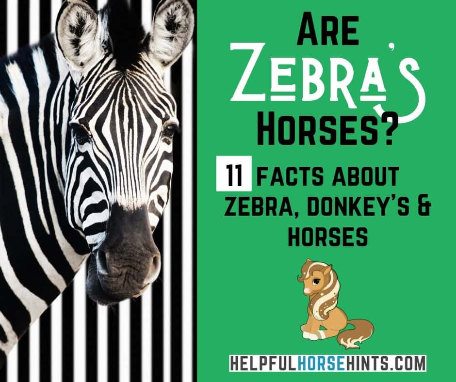 Are Zebras Horses? 11 Facts About Zebras and Horses | Helpful Horse