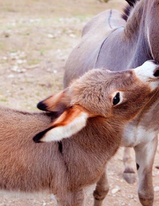 baby donkey and the mother donkey