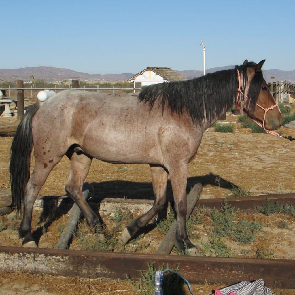 Blue Roan Horse Color Genetics With Photos And Descriptions Helpful Horse Hints