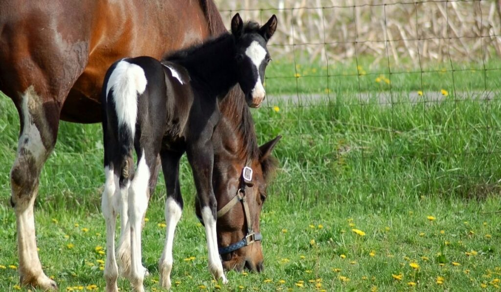 black and white tobiano filly