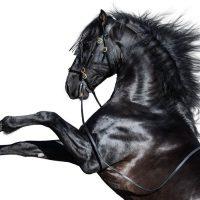 180+ Names for Black Horses