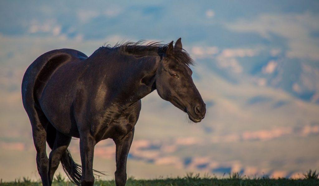 Black Mustang Horse