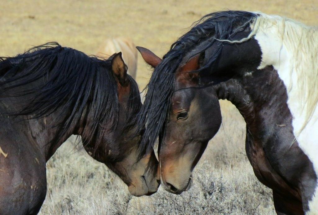 BLM Wild Mustang Horses in Wyoming