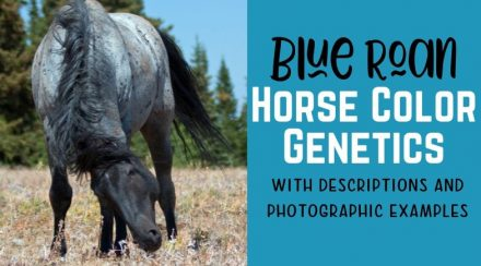 Blue Roan Horse Color Genetics with Photos and Descriptions