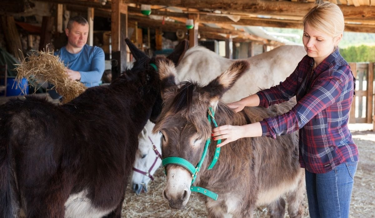 breeders working and taking care of the donkeys