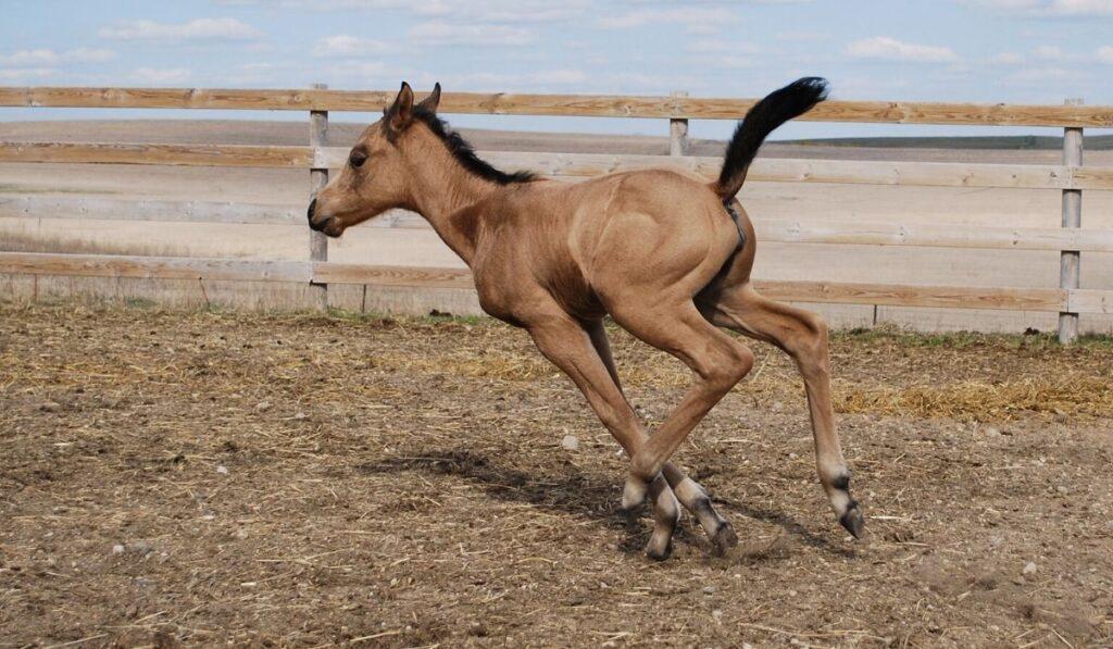 buckskin filly foal