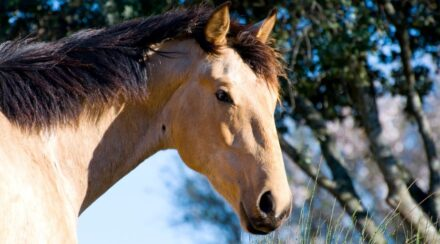 Buckskin Horse Color – Origin, Genetics, and Variations