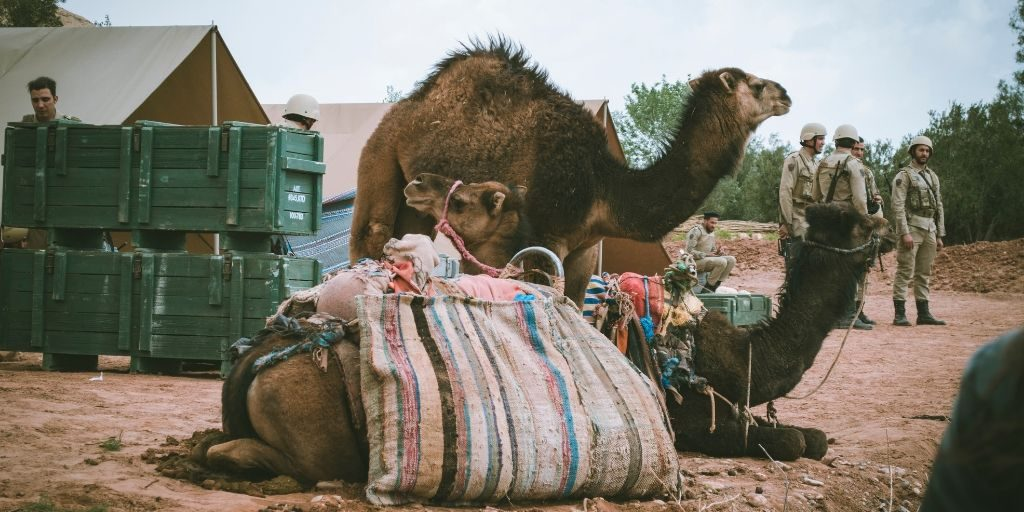 camels carrying packs