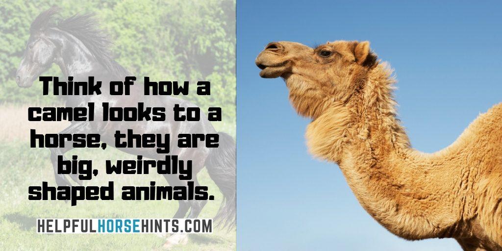 camels look weird