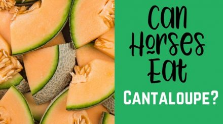 Can Horses Eat Cantaloupe?