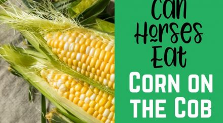 Corn On the Cob as a Treat for Horses