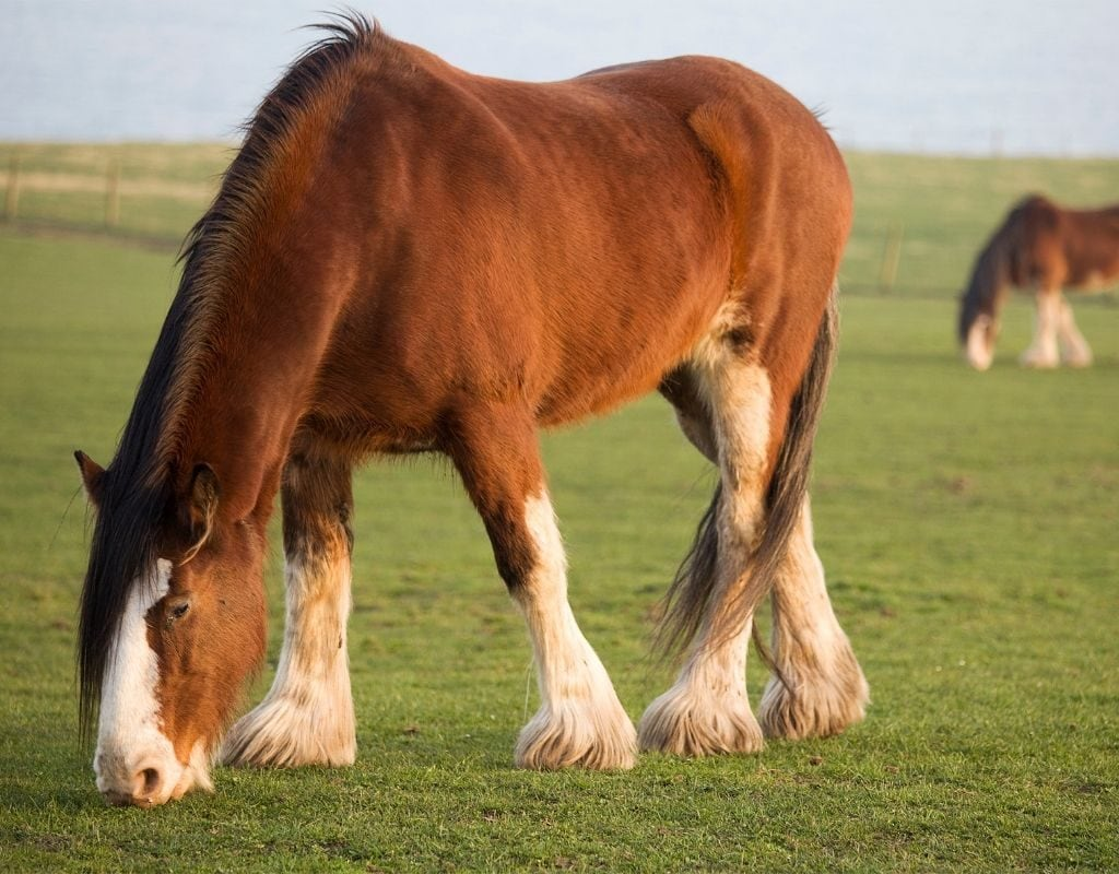 15 Largest Horse Breeds In The World Helpful Horse Hints