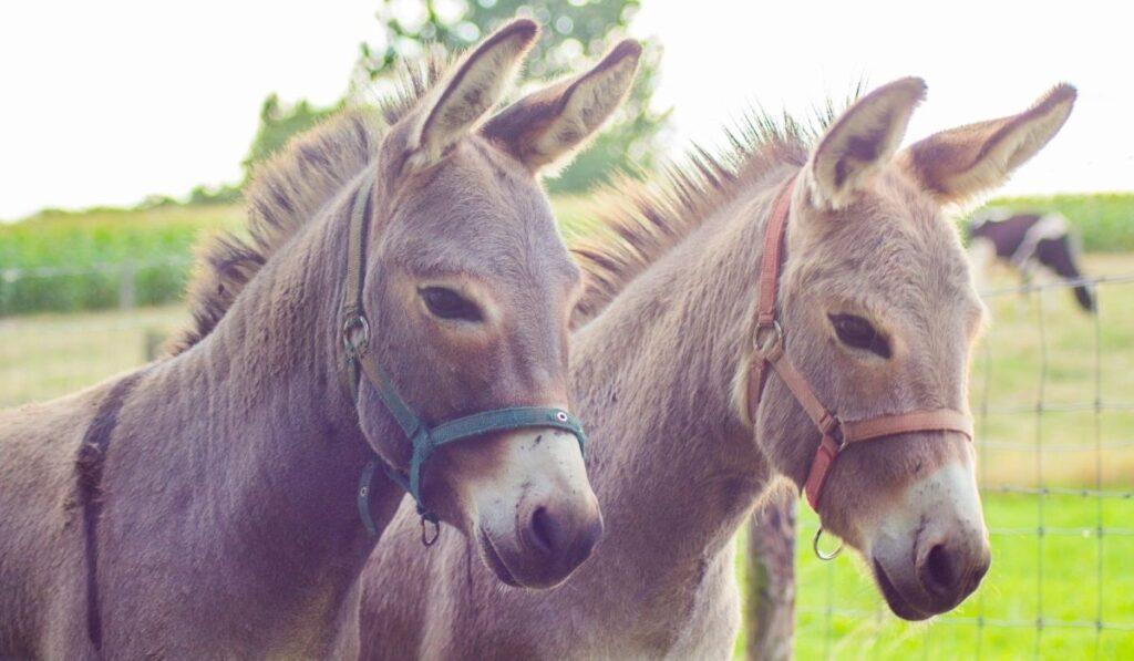 couple of donkey
