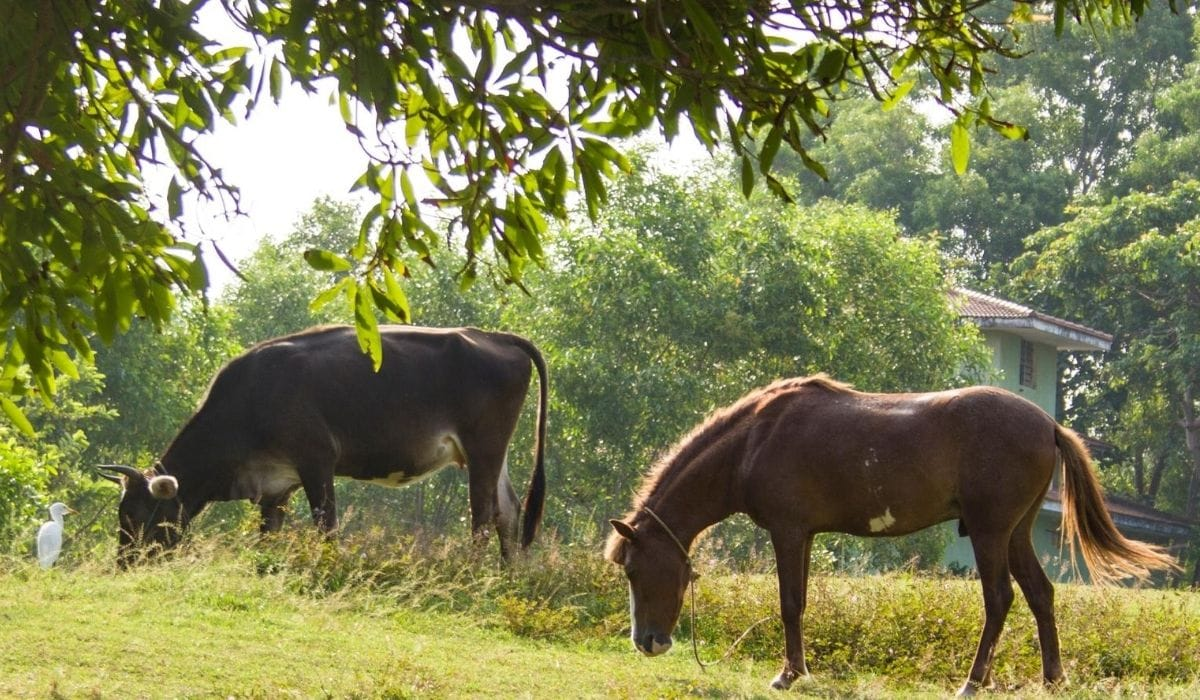 cow and horse eating in the field
