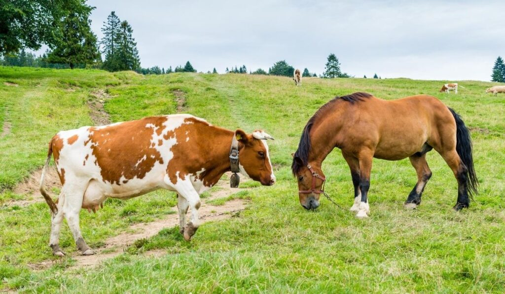 cow and horse in the field