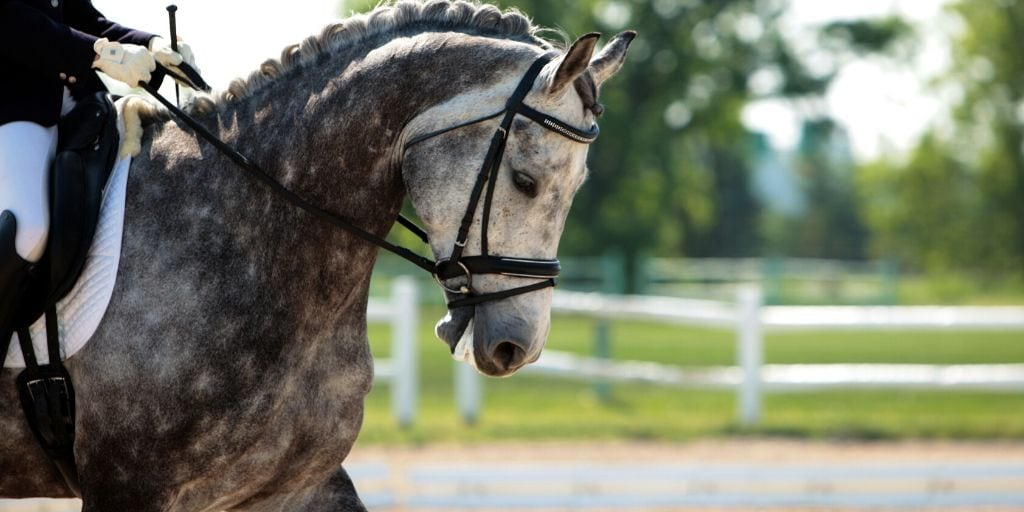 dapple gray horse named steel