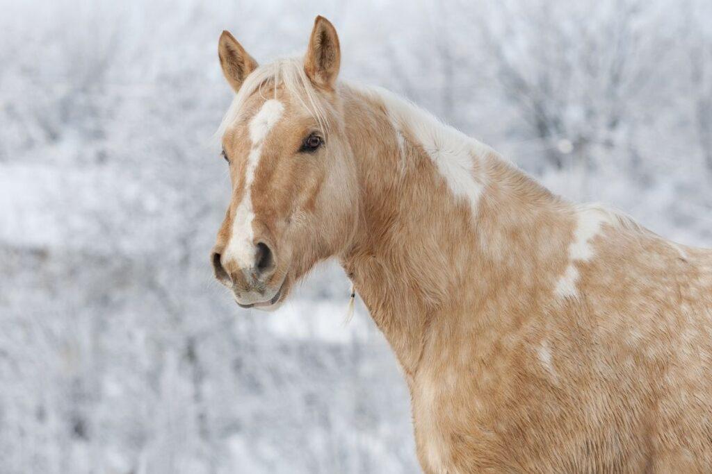 dapple palomino horse