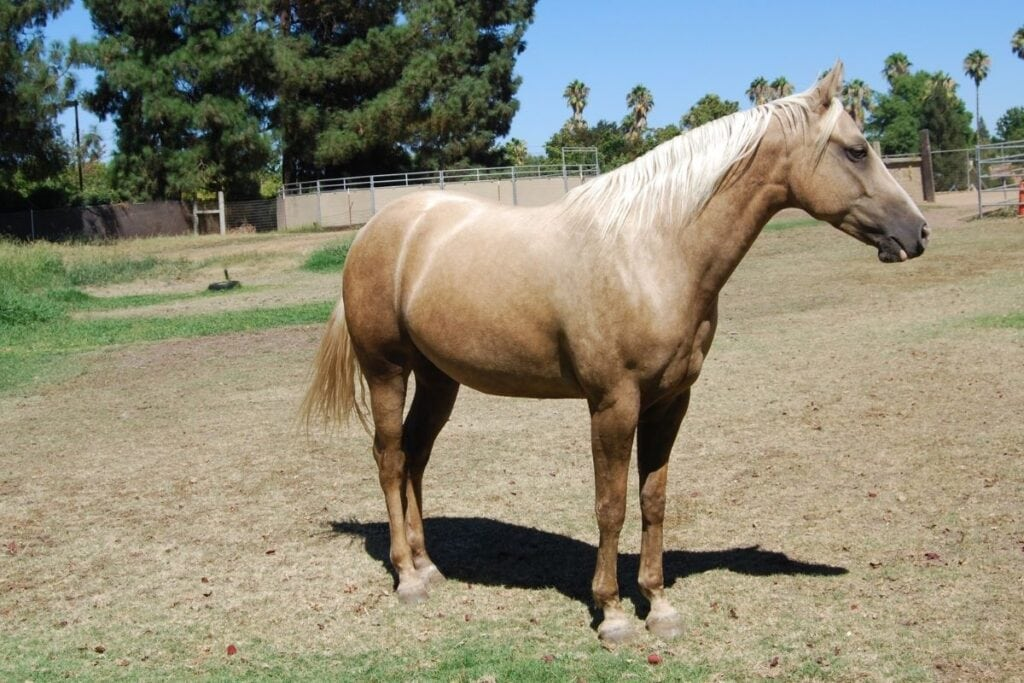 Dapple Palomino Horse Photos Breeds And Where To Buy Helpful Horse Hints