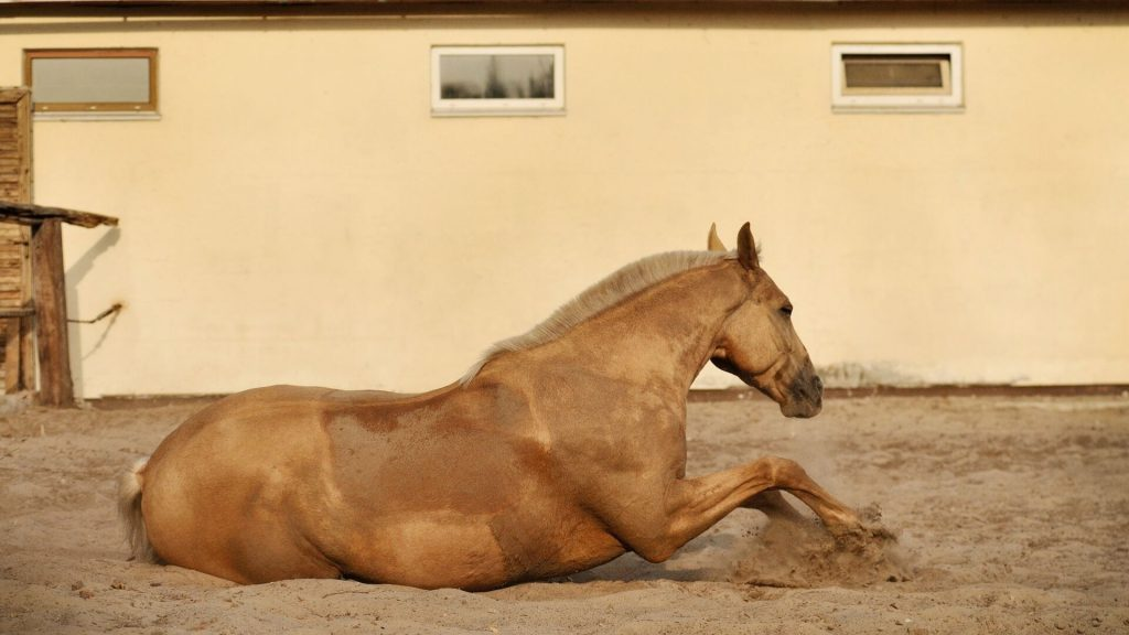 Palomino Horse Rolling in the Dirt