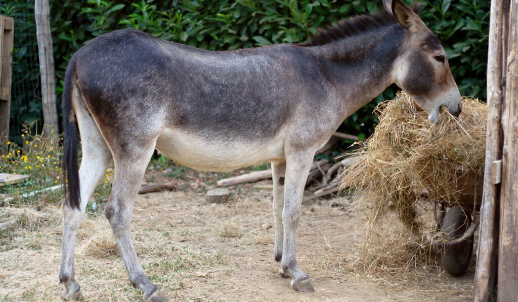 A donkey eating dried grass inside the pen
