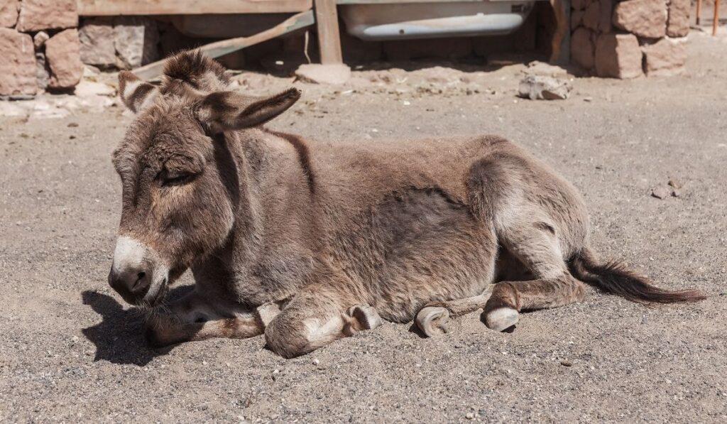 donkey sleeping
