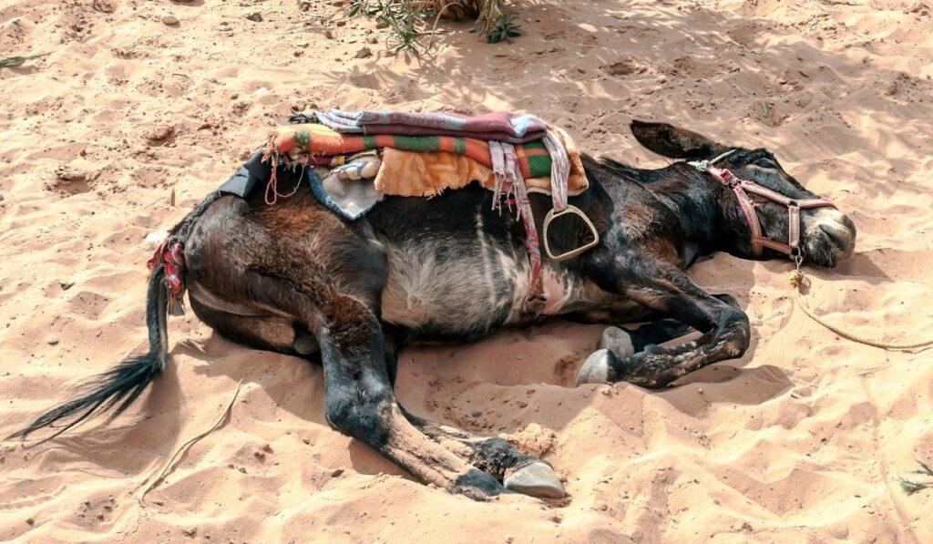 donkey sleeping on sand