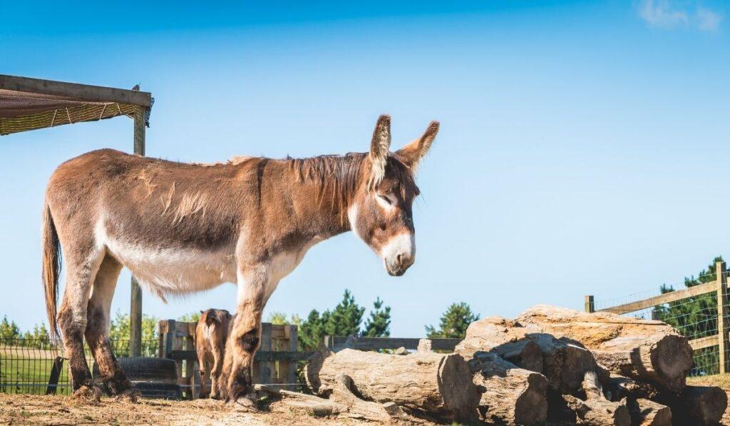donkey sleeping standing up