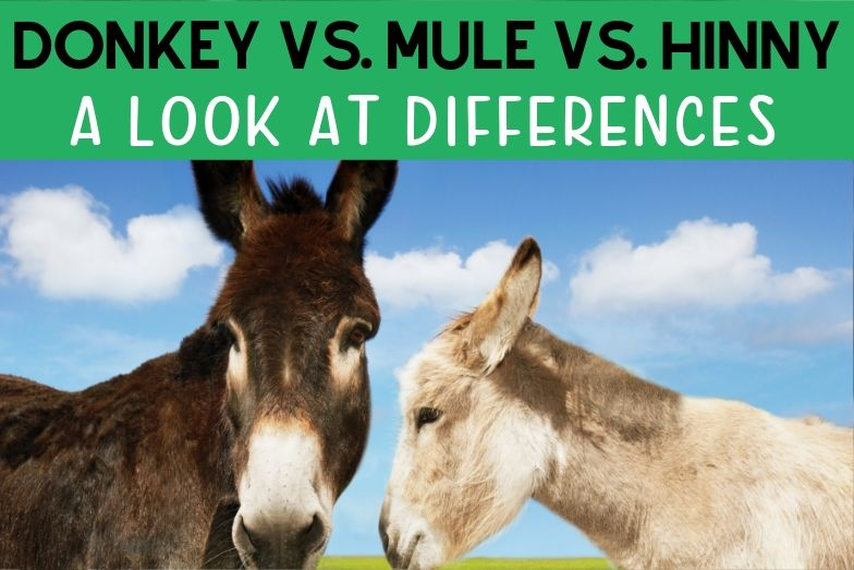Donkey vs. Mule vs. Hinny: A Look at the Differences