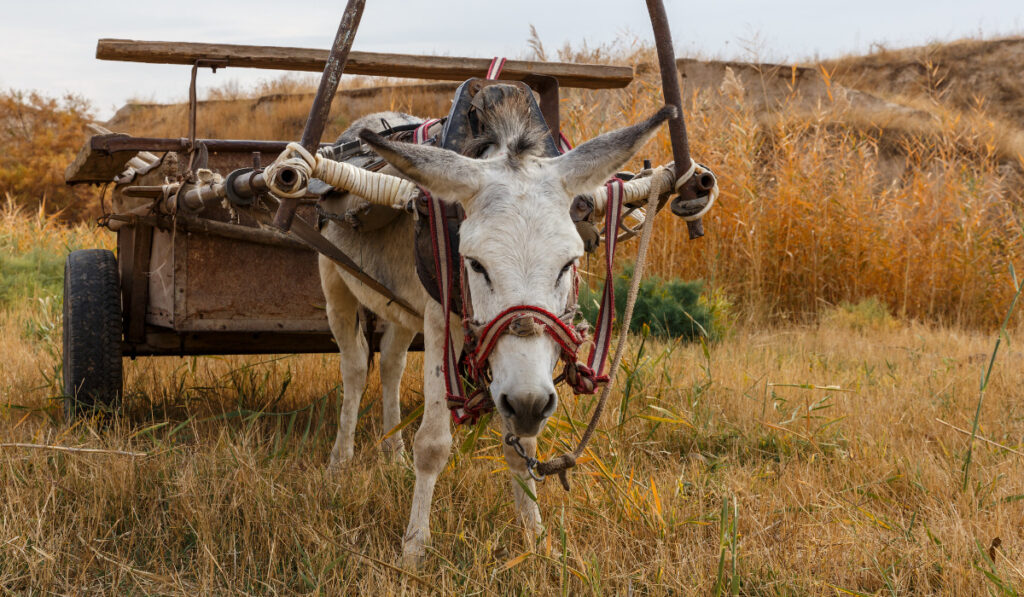 A donkey eating while its wagon is on its back