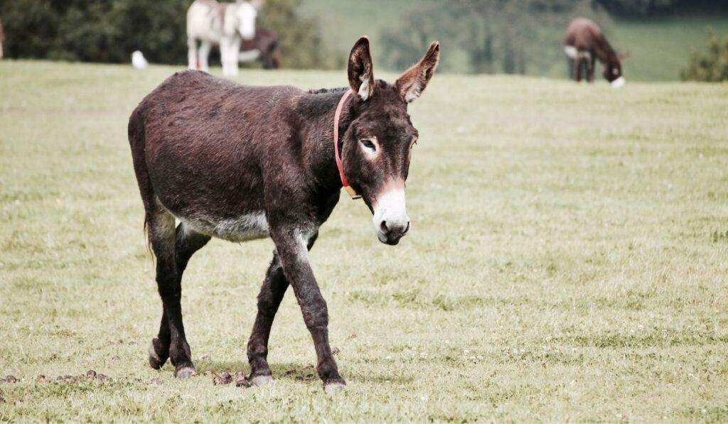 donkey walking in the field