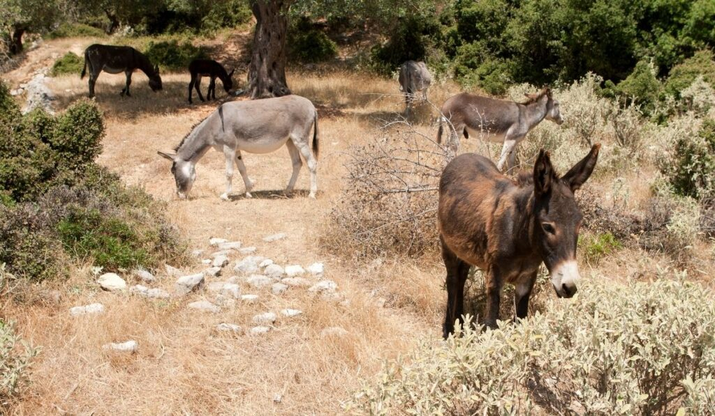 donkeys looking for food to eat