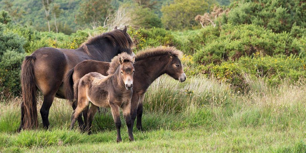exmoor pony mare and foals