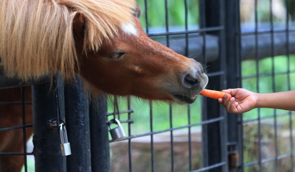 feeding pony with a carrot