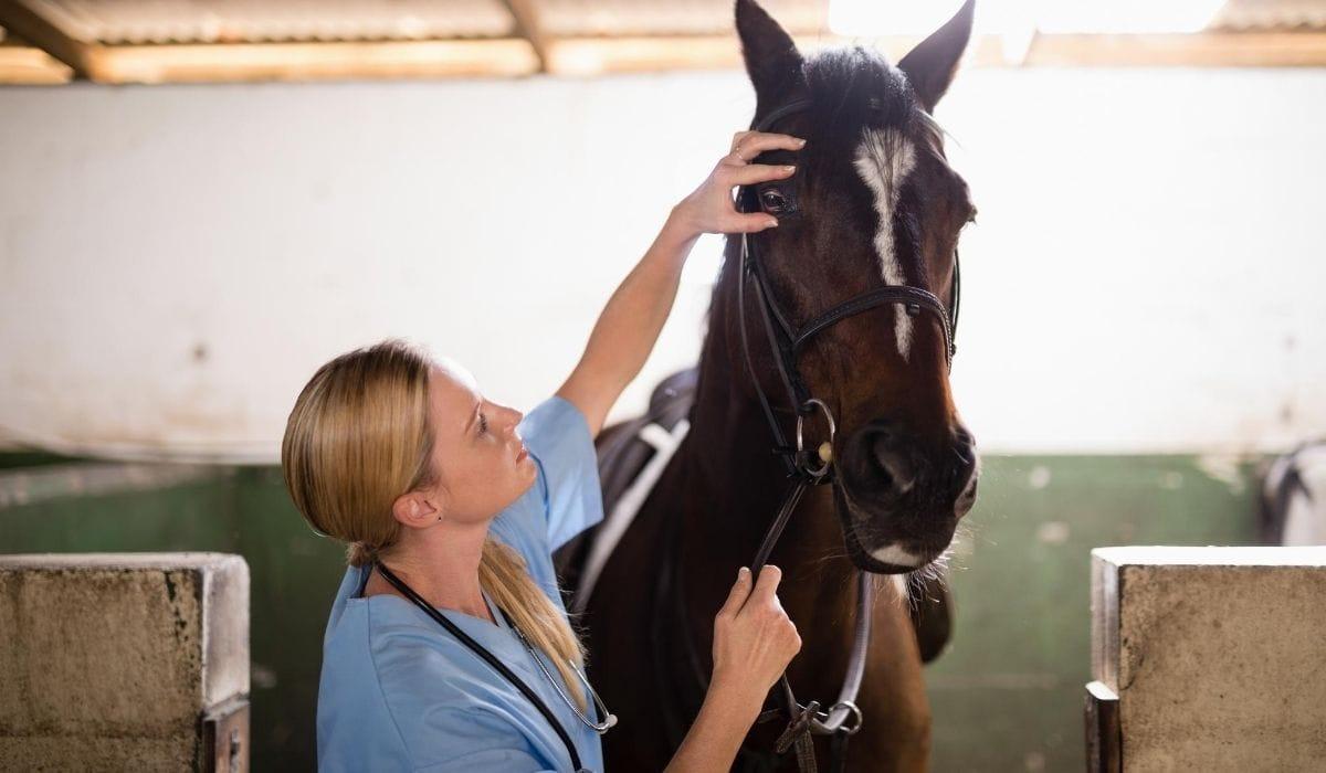 female vet checking the horse