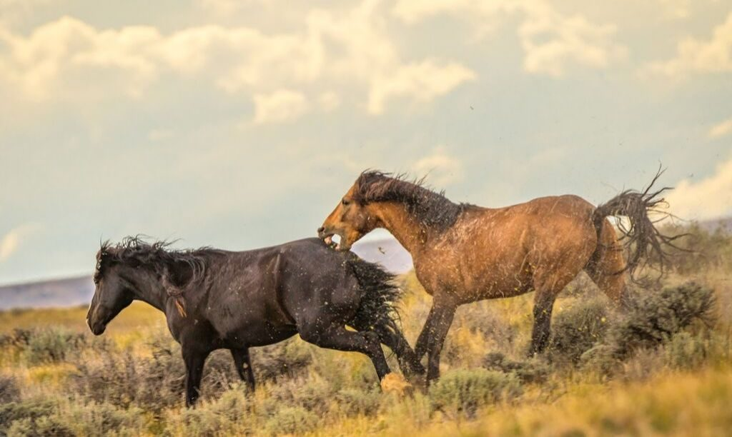 Aggressive Stallion Chasing Another Horse