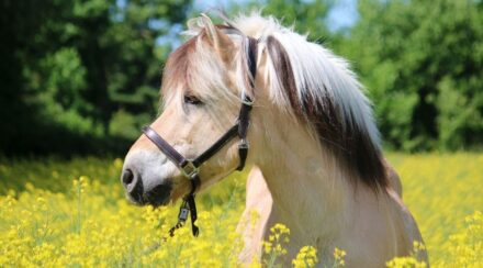 fjord horse in a field