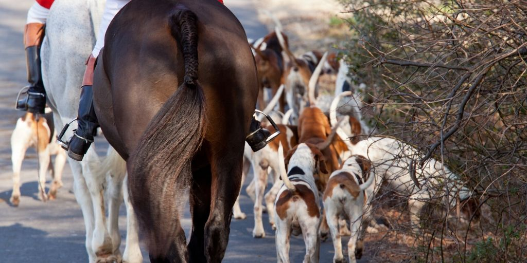 foxhounds going out for a hunt with horses and riders