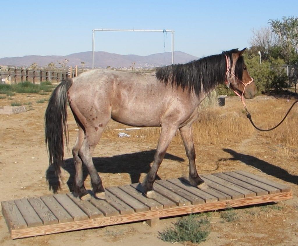 photo of a gelding