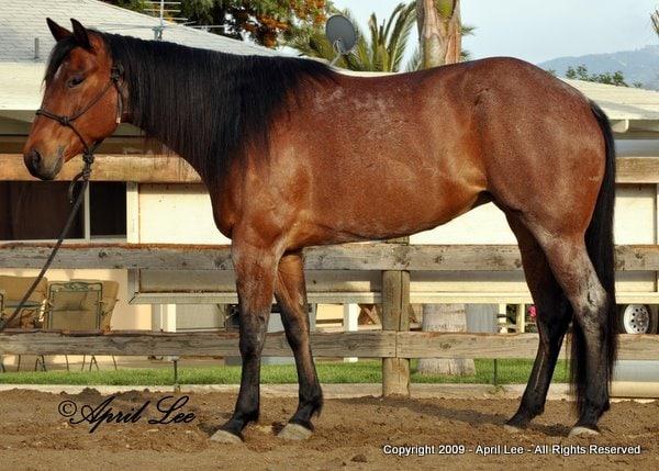 bay roan american quarter horse