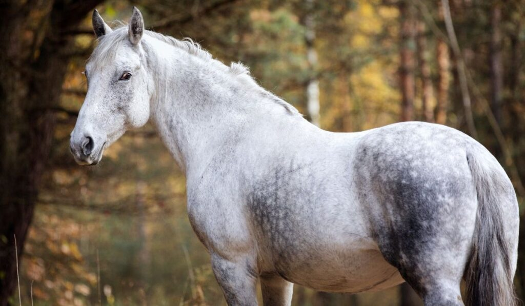 Anglo Arabian Horse History Registration Costs More Helpful Horse Hints