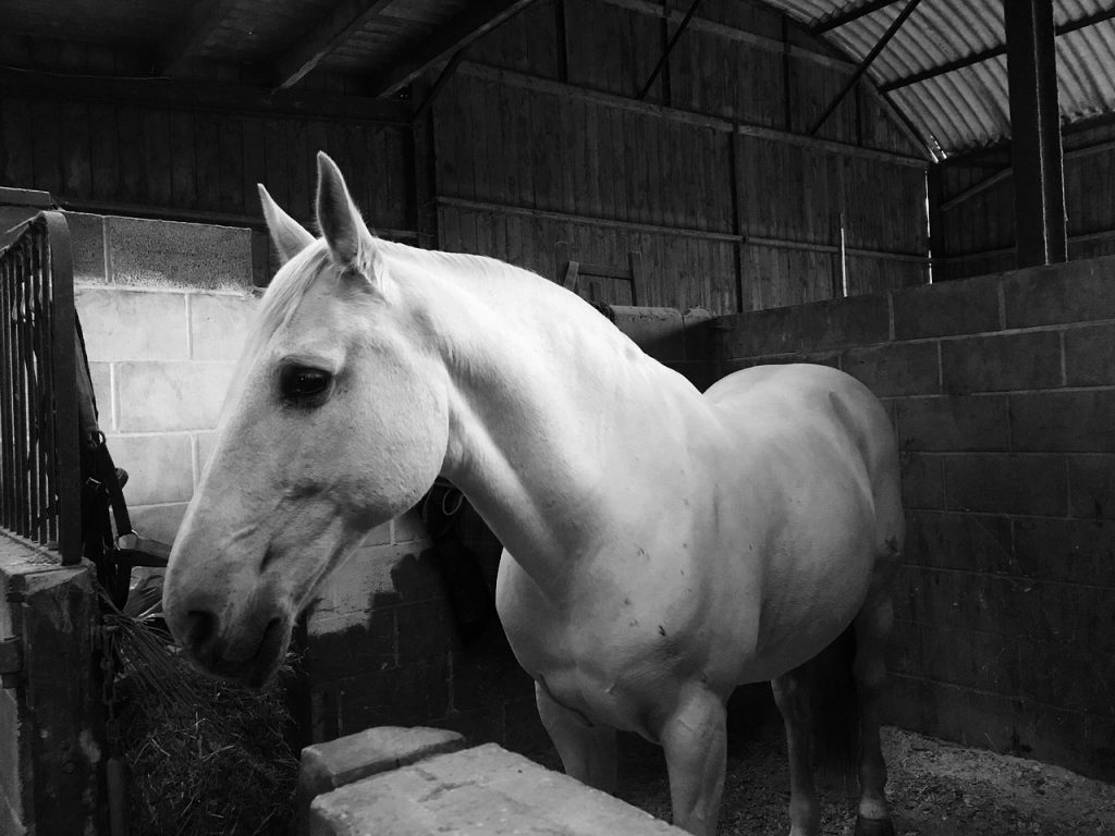 lusitano horse in the stable