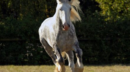 16 Gypsy Vanner Horse Facts